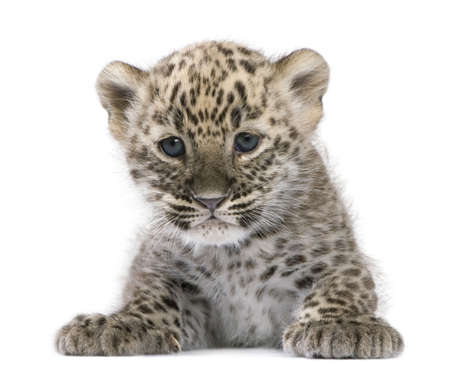 Persian leopard Cub (6 weeks) in front of a white background photo