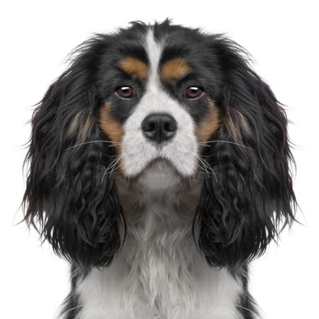 enhancement: Cavalier King Charles puppy  (10 months) in front of a white background (Digital enhancement)