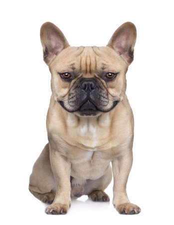 enhancement: dog (french Bulldog) sitting and facing at the camera (1 year) in front of a white background (Digital enhancement)  Stock Photo