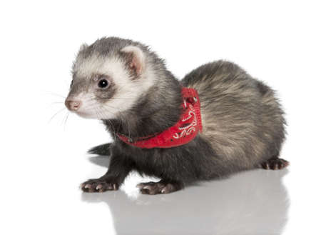 pet photography: young ferret wearing a red scarf - Mustela putorius furowhite background