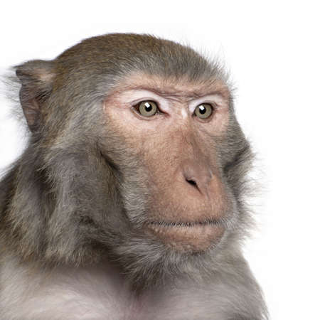 Rhesus Macaque -  Macaca mulatta in front of a white background