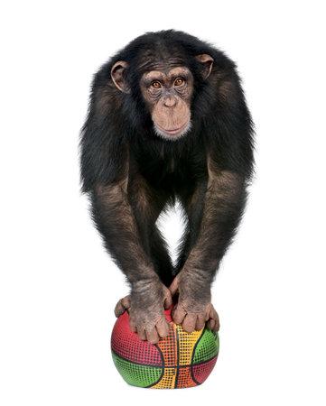 chimpansee: Young chimpansee spelen met een ballon en kijken naar de camera - Simia troglodytes (5 jaar) voor een witte achtergrond Stockfoto