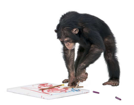 chimpanzee: monkey (Chimpanzee) drawing on a canvas - Simia troglodytes (5 years old) in front of a white background Stock Photo