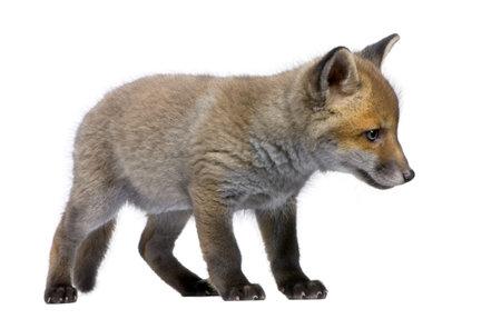 volpe rossa: Red Fox Cub, Vulpes vulpes, 6 settimane, in piedi davanti a sfondo bianco, foto