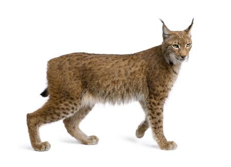 lynxs: Eurasienne lynx, lynx lynx, 5 ans, debout devant de fond blanc, studio abattu  Banque d'images