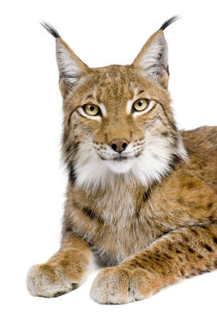 catlike: Eurasian Lynx - Lynx lynx (5 years old) in front of a white background