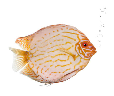 Pigeon Blood Discus fish, Symphysodon aequifasciatus, in front of white background, studio shot