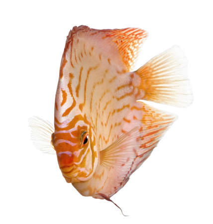 discus fish: Pigeon Blood Discus (fish) - Symphysodon aequifasciatus  in front of a white background