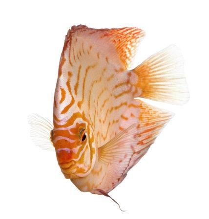 pez disco: Pigeon Blood Discus (pescado) - aequifasciatus Symphysodon delante de un fondo blanco Foto de archivo