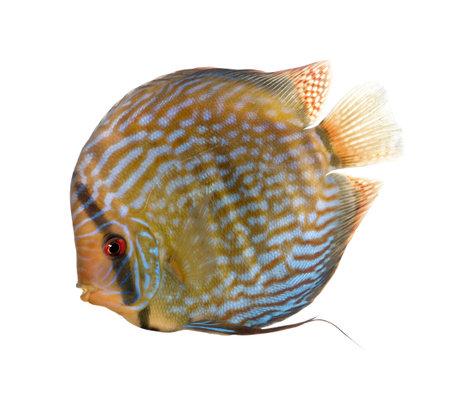 aequifasciatus: Red Turquoise Discus fish, Symphysodon aequifasciatus, in front of white background, studio shot