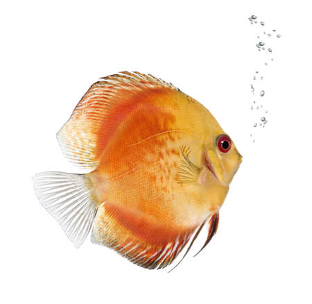 discus fish: Fire Red Discus fish, Symphysodon aequifasciatus, in front of white background, studio shot