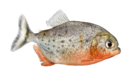 pirana: side view on a Piranha fish - Serrasalmus nattereri in front of a white background