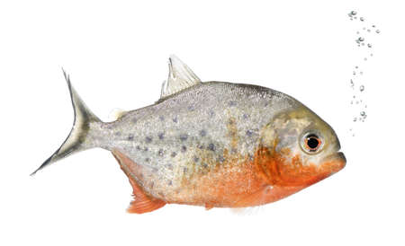 Piranha, Serrasalmus nattereri, in front of white background, studio shot