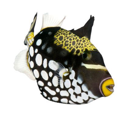 pez payaso: Payaso Balistidae (peces) - Balistoides conspicillum delante de un fondo blanco