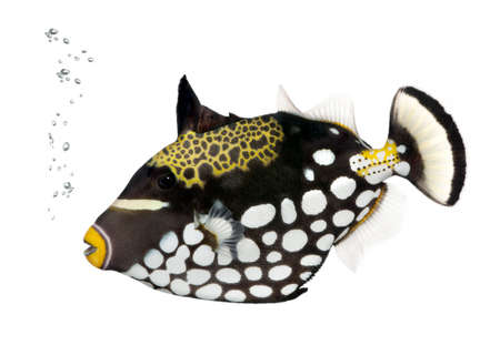 balistoides conspicillum: Clown triggerfish, Balistoides Conspicillum, in front of white background, studio shot  Stock Photo