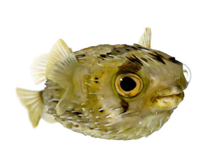 saltwater: Long-spine porcupinefish also know as spiny balloonfish (fish) - Diodon holocanthus in front of a white background