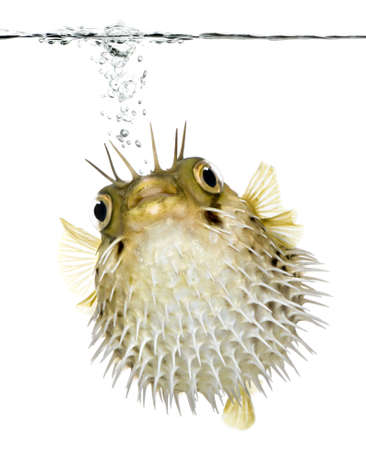 saltwater: Long-spine porcupinefish also know as spiny balloonfish swimming below the waterline - Diodon holocanthus in front of a white background