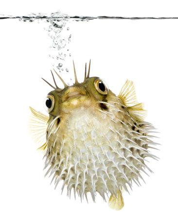 wasserlinie: Long-spine porcupinefish auch bekannt als stachelige Igelfisch Schwimmen unterhalb der Wasserlinie - Diodon holocanthus vor einem wei�en Hintergrund Lizenzfreie Bilder