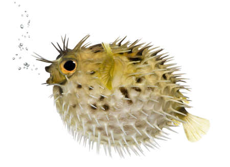tropical fish: Long-spine porcupinefish also know as spiny balloonfish (fish)- Diodon holocanthus in front of a white background Stock Photo