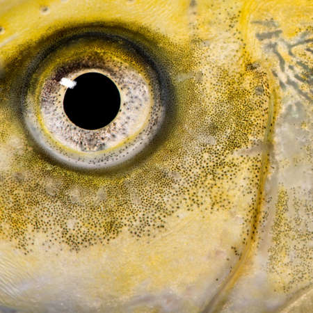 close-up on the eye of a yellow fish in front of a white background Stock Photo - 5497105