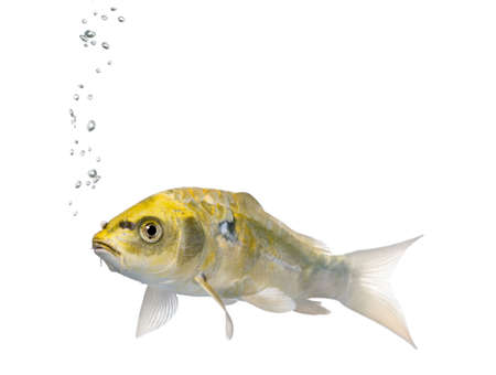 Yellow Koi ogon fish, Cyprinus Carpio, against white background, studio shot