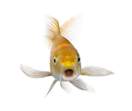 koi: Yellow carp in front of a white background