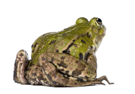 Back view of a Edible Frog - Rana esculenta in front of a white background photo