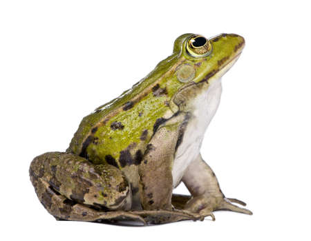 side view of a Edible Frog looking up - Rana esculenta in front of a white background photo