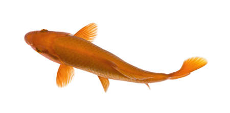 Orange koi fish, Cyprinus Carpio, against white background, studio shot