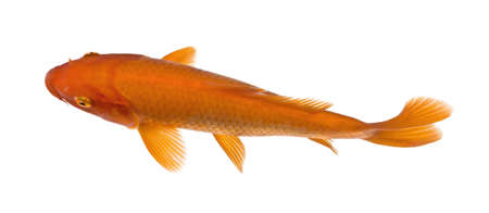 top view of a red fish : Orange Koi - Cyprinus carpio in front of a white background photo