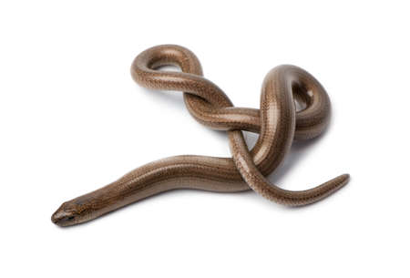 Top view of a slowworm - Anguis fragilis in front of a white background.  a Slowworm is limbless reptile photo