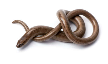 fragilis: Top view of a slowworm - Anguis fragilis in front of a white background.  a Slowworm is limbless reptile