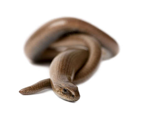 front view of a slowworm - Anguis fragilis in front of a white background.  a Slowworm is limbless reptile Stock Photo - 5496929