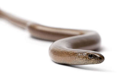 front view of a slowworm - Anguis fragilis in front of a white background.  a Slowworm is limbless reptile Stock Photo - 5496924