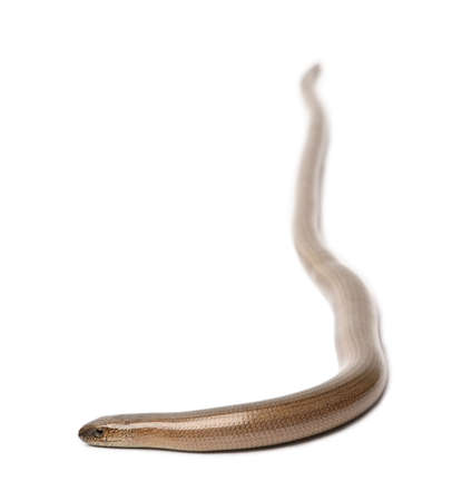 anguis: slowworm - Anguis fragilis in front of a white background.  a Slowworm is limbless reptile