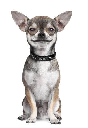 cane chihuahua: cane (chihuahua) guardando la fotocamera, sorridente, davanti a uno sfondo bianco (miglioramento digitale)