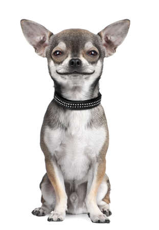 dog background: dog ( chihuahua ) looking at the camera, smiling, in front of a white background (Digital enhancement) Stock Photo