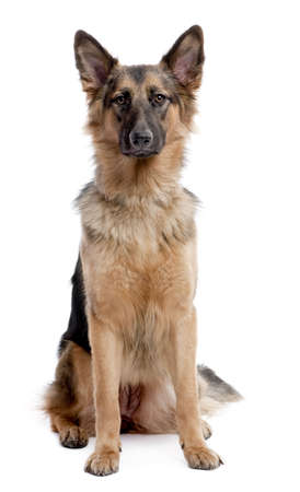 german shepherd dog sitting and facing at the camera in front of a white background photo