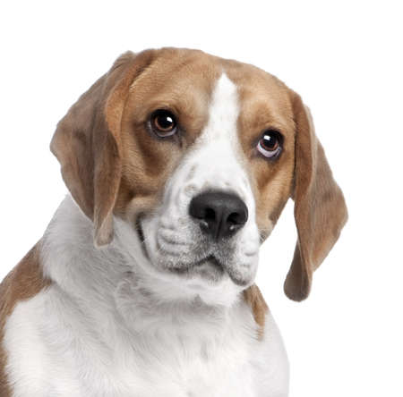 beagle terrier: close-up on a Beagles head (2 years old) in front of white background Stock Photo