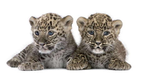 leopard fur:  Persian leopard Cub (6 weeks) in front of a white background