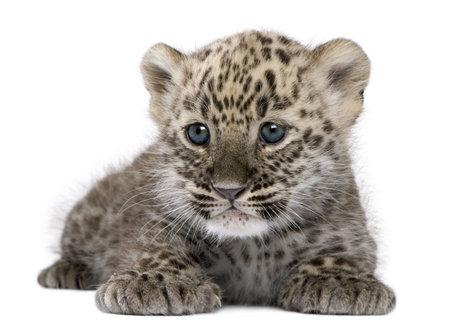 cachorro: Leopardo persa Cub (6 semanas) delante de un fondo blanco