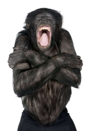 ape: Mixed-Breed between Chimpanzee and Bonobo (20 years old) in front of a white background
