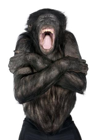 bonobo: Mixed-Breed entre el chimpanc� y el bonobo (20 a�os) delante de un fondo blanco Foto de archivo