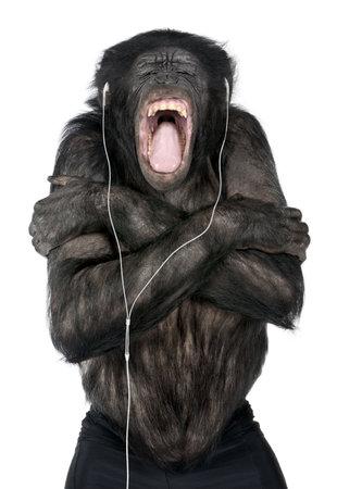 bonobo: Monkey escuchar m�sica con el auricular blanco delante de un fondo blanco (Mixed-Breed entre el chimpanc� y el bonobo (20 a�os))
