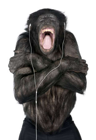 making music: Monkey listening music with his white headset  in front of a white background (Mixed-Breed between Chimpanzee and Bonobo (20 years old))
