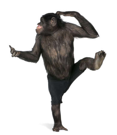 bonobo: mono bailando en un pie (mixed-Breed entre chimpanc�s y bonobos) bailes (20 a�os) delante de un fondo blanco