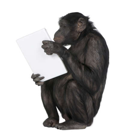 chimpanzee: monkey (Mixed-Breed between Chimpanzee and Bonobo) playing with a laptop (20 years old) in front of a white background Stock Photo