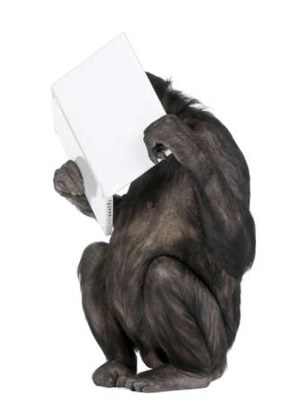 monkey (Mixed-Breed between Chimpanzee and Bonobo) playing with a laptop (20 years old) in front of a white background Stock Photo - 5496932