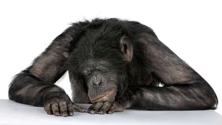 sleeping at desk: monkey sleeping on his desk Mixed-Breed between Chimpanzee and Bonobo (20 years old) in front of a white background Stock Photo