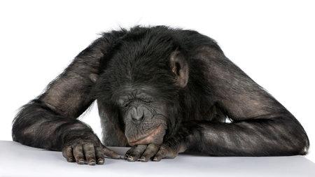 monkeys: mono durmiendo en su escritorio de raza mixta entre chimpanc�s y bonobos (20 a�os) delante de un fondo blanco